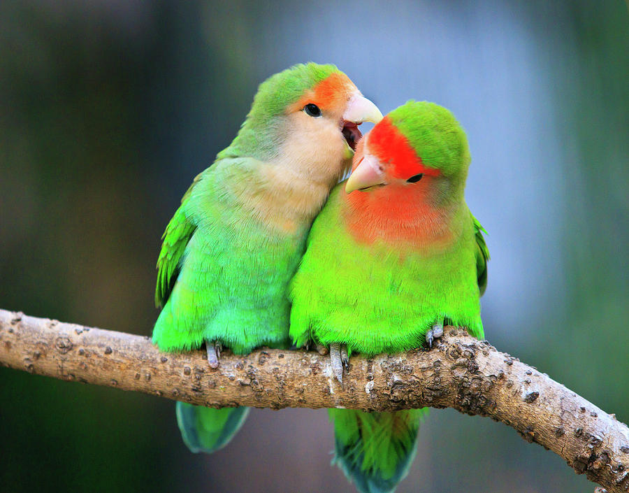 two-peace-faced-lovebird-feng-wei-photography
